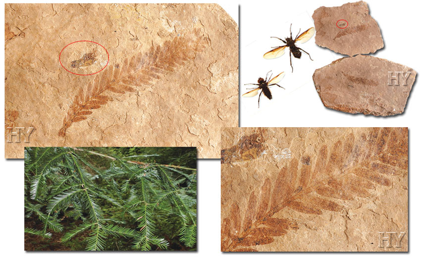 March flies, theory of evolution, fossil, sequoia