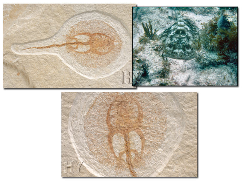 stingrays, fossil