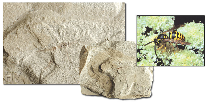 Guepe, fossile, wasp