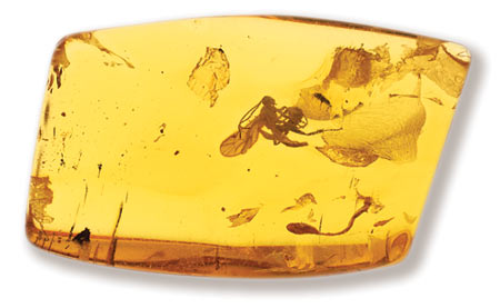 wasp, amber, Fossils