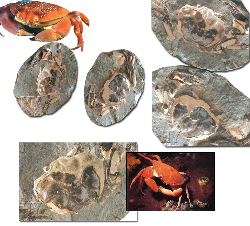 Crabe and fossile