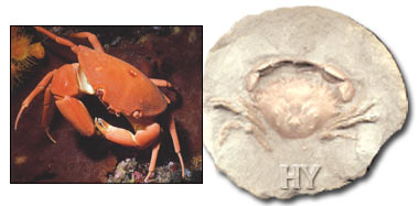 crab, fossil
