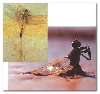 dragonfly, evolution, fossil