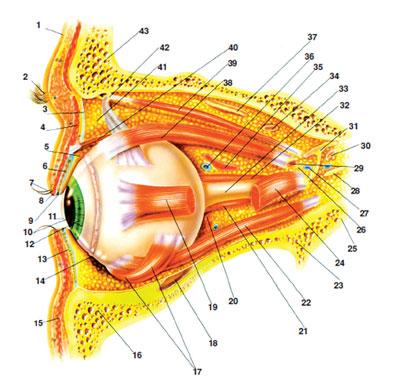 40 parts of eye