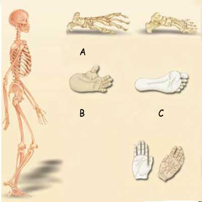 anatomical difference between human and apes