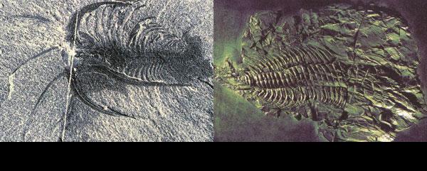 marella ve kambriyen fosili