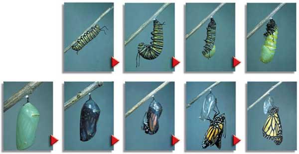 Metamorfoz yapan tırtıl kelebeğe dönüşüyor