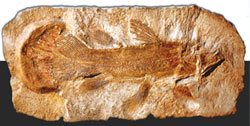 coelacanth, celacanto