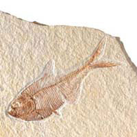 herring fish, fossil