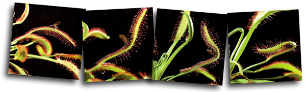 sundew, hunter plants