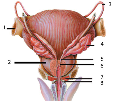 prostate_gland_fertility