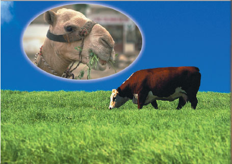 cow, camel