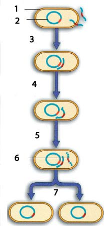 germ_cell_DNA_copying_enzym