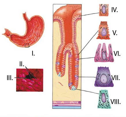 internal structure of the stomach