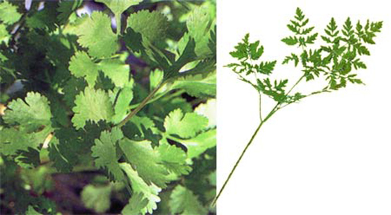 parsley, hemlock