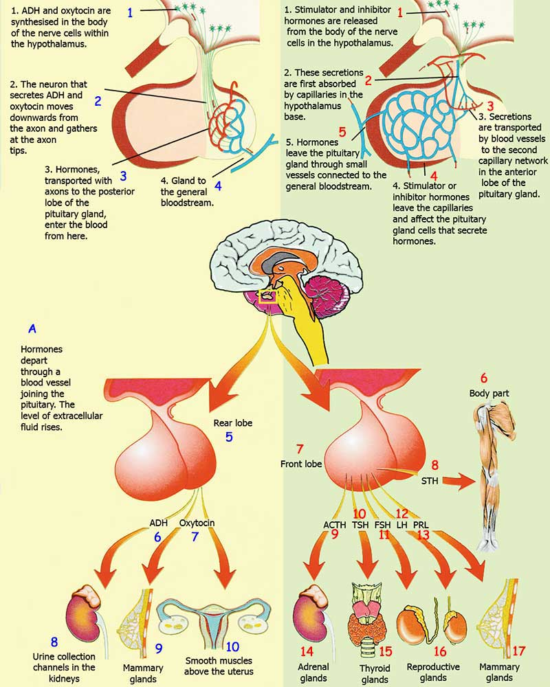Read Or Download The Human Miracle Gland Muscle And Body Part Is Affected Full Diagram Hypothalamus