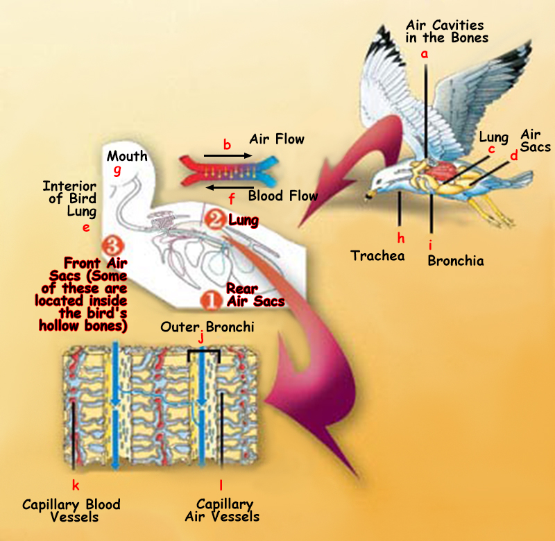 The Avian Lung