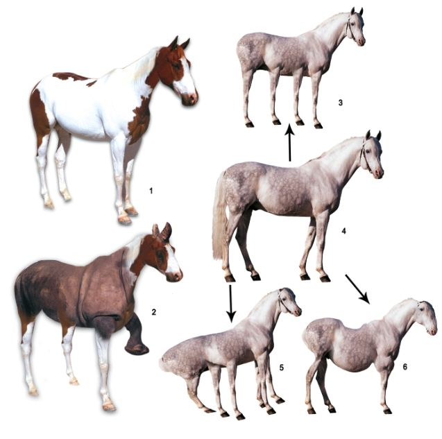 imaginary transitional form, horses
