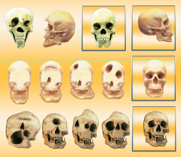 transitional form, human skulls