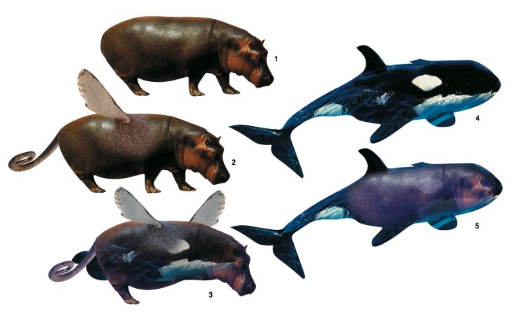 Whale, Imaginary transitional forms, Hippopotamus